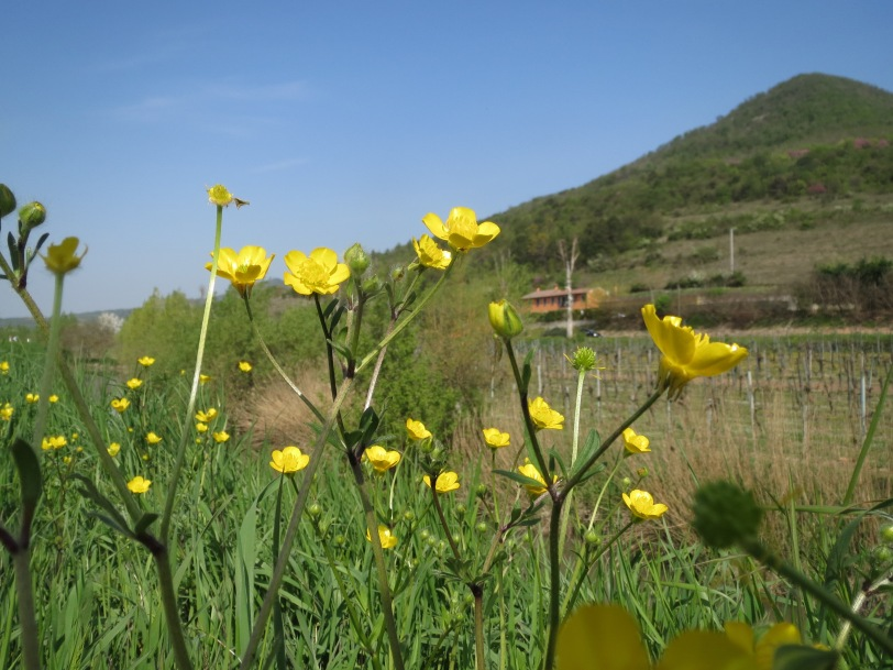 Buttercups in The Euganean Hills