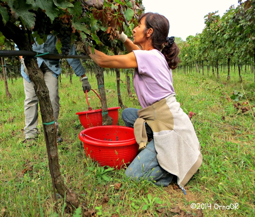 Harvesting Merlot grapes in Arqua Petrarca for Ca Lustra