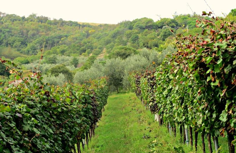 Merlot vines in Arqua Petrarca, Veneto