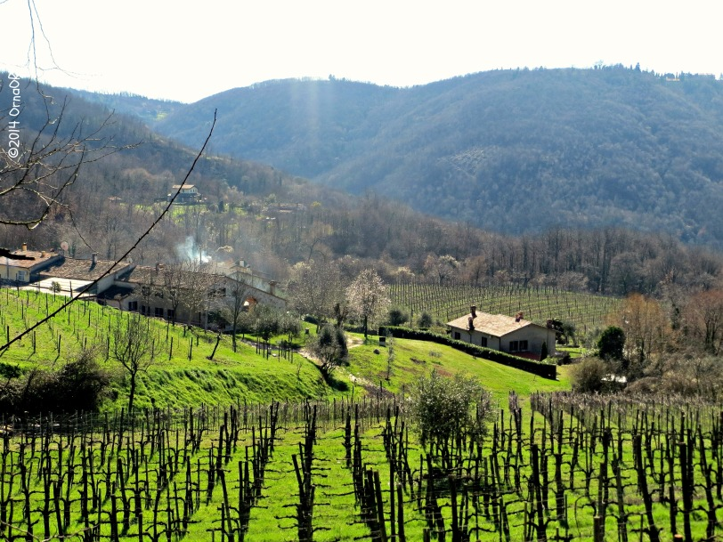 Euganean Hills: grape vines in early spring