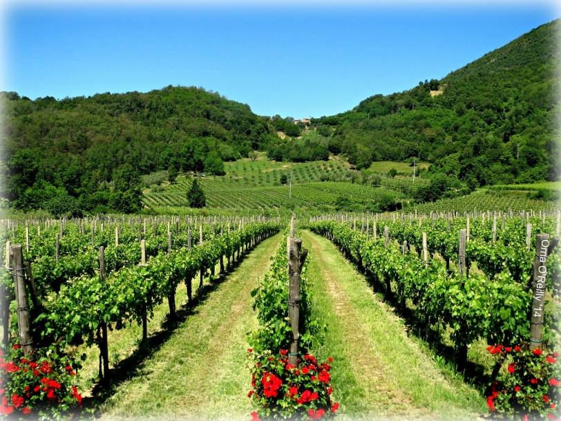 Euganean Hills: grape vines in mid summer
