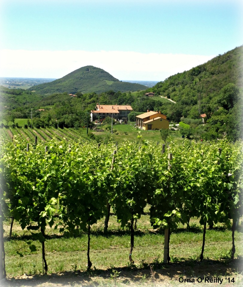 Euganean Hills, Veneto: ripening grapes in summer