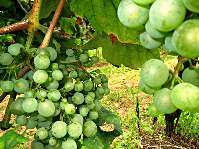 Luscious green grapes; ripe for picking