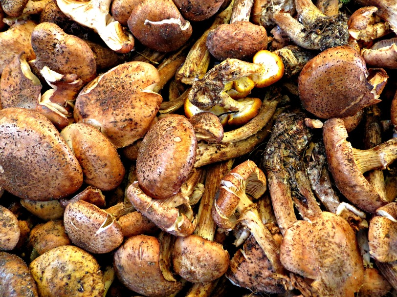 Cadore mushrooms