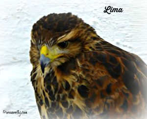 Lima: the beautiful Harris Hawk