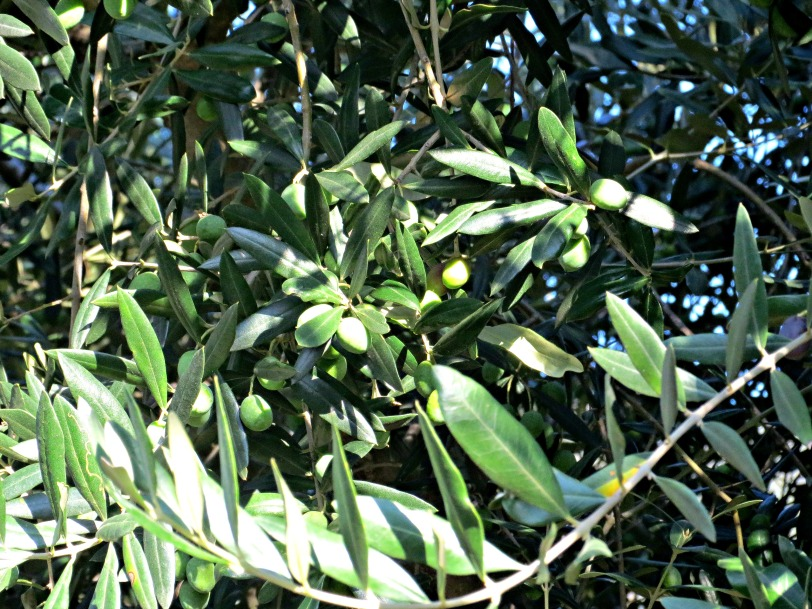 Olives Tree to Plate l ©ornaoreilly.com