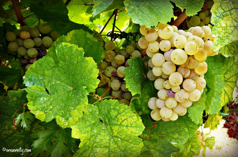 Malvasia Grapes