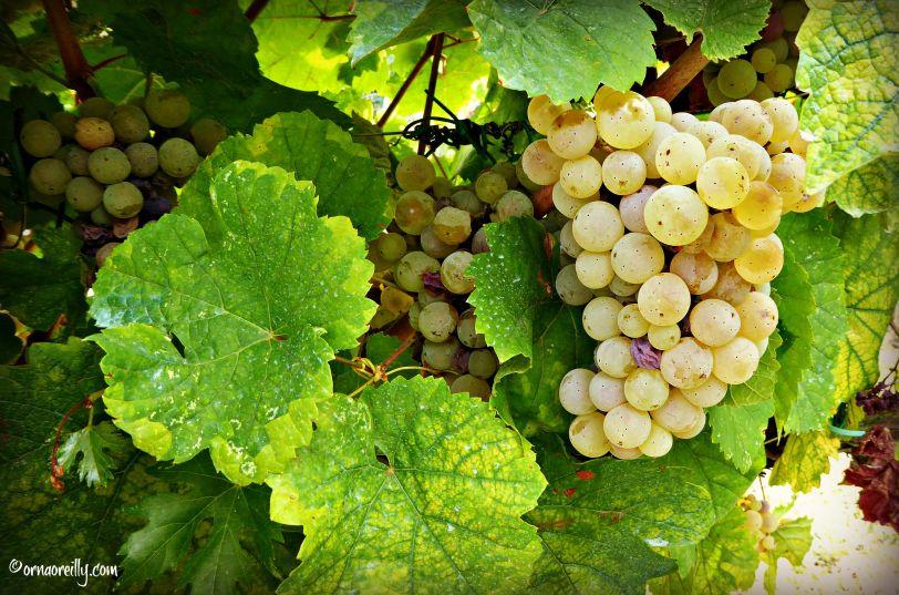 Malvasia Grapes