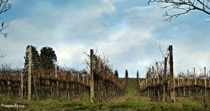 Vines in winter