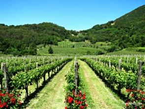 Vines in summer