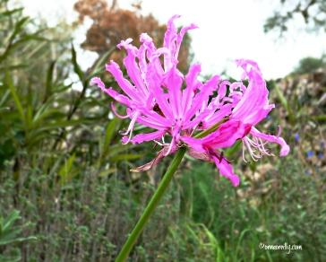 Nerina bowdenii (Amaryllidaceae)