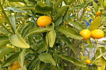 Kumquats Citrus Japonica (Rutaceae)