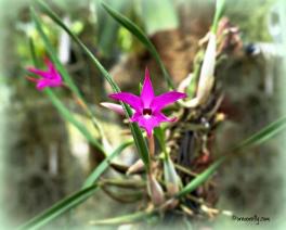 Orchid Sophronitella Violacea