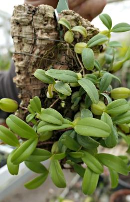 Bulbophyllum sp. (Orchidaceae)