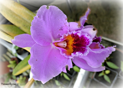 Orchid Cattleya Percivaliana