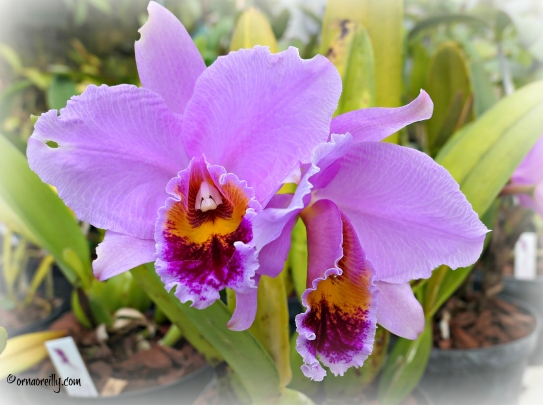 Cattleya Percivaliana (Orchidaceae)
