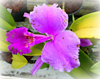 Orchid Cattleya Gaskelliana