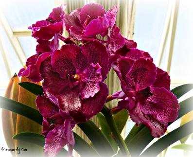 Hybrid Vanda Orchid (Orchidaceae)