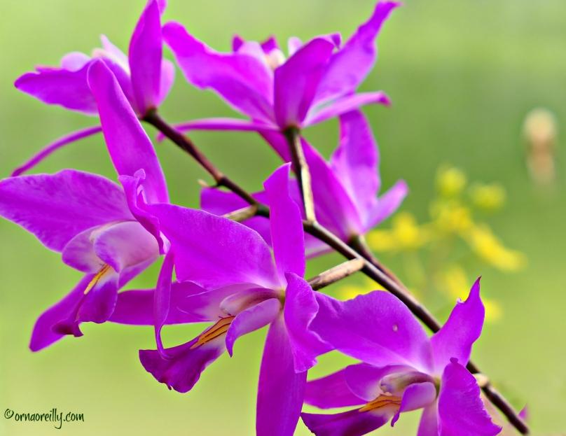 Orchid Laelia Gouldiana
