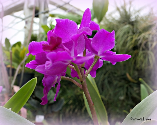 Cattleytonia Orchid