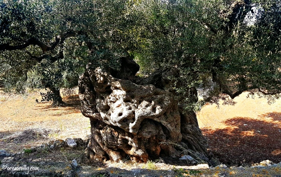 2000 year old olive tree