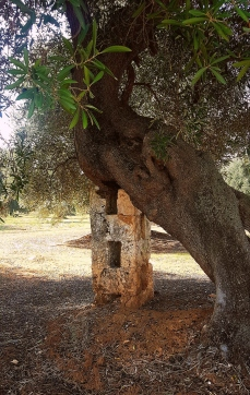 Ancient olive tree with support