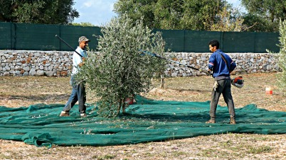 Virgin Olive Farmer l ©ornaoreilly.com