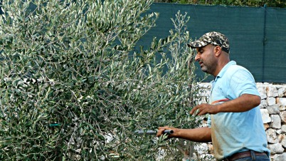 First Olive harvest 20th October 2019 (5) twinked