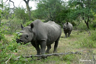 Black Rhino: mother and baby