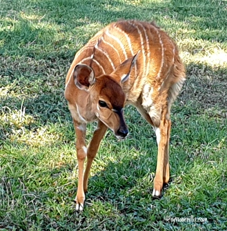 Young female Nyala