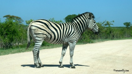 Zebra: Kruger National Park